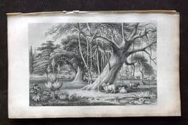 Rhind 1857 Antique Botanical Print. Banyan Boabob &c. India